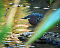 Green Heron hunting in Big Cypress Swamp. Image taken with a Nikon Df camera and 80-400 mm Vr lens (ISO 1600, 400 mm, f/5.6, 1/250 sec).