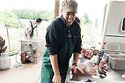 "Jen Schwab snaps the head from a heritage chicken during hand processing. Matt Schwab places chickens into a steel cone that holds the birds and then using a sharp straight razor, slits a vein in the bird's neck draining the blood. The birds do not seem to suffer as the gradual blood loss renders them unconscious. Small family farmers Matt and Jen Schwab operate ""Inspiration Plantation"" an organic farm outside of Ridgefield, Washington. The couple raises and harvests their own heritage chickens, and seasonally inviting their customers in the community to visit their farm and help with the poultry harvest. Once the birds are killed, they're placed in a bath of near boiling water to loosen the feathers and then rotated in a washing machine-like tub with rubber appendages that pull the feathers out. Visiting helpers can participate in every step of the process and receive a fresh chicken for their efforts."