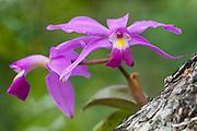 Violet Cattleya Orchid (Cattleya violacea) Formally Cattleya superba<br /> Karanambu Lodge<br /> Rupununi<br /> GUYANA<br /> South America