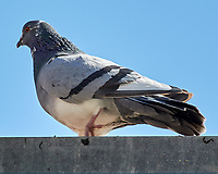 Rock Pigeon (Columba livia). Albuquerque, New Mexico. Image taken with a Nikon N1V1 camera and 30-110 mm VR lens.