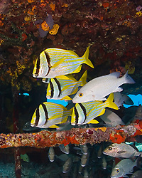 Porkfish, Anisotremus virginicus, Gray Snapper, Lutjanus griseus, and Sailors Choice, Haemulon parra, sheltering under Sugar Wreck, the remains of an old sailing ship that grounded many years ago, West End, Grand Bahamas, Caribbean, Atlantic Ocean