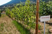 Vines. Mavazia aromatica vine variety. Biblia Chora Winery, Kokkinohori, Kavala, Macedonia, Greece