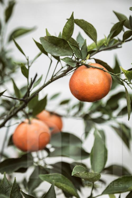 Kumquat tree displayed along Lac Long Quan in Hanoi, Vietnam, Southeast Asia