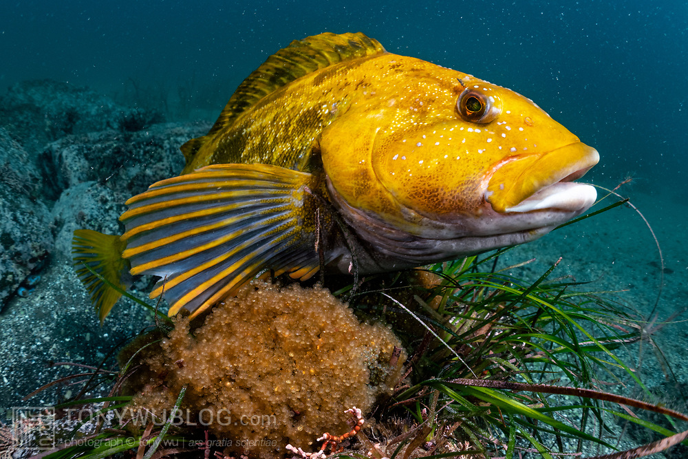 This is a male fat greenling (Hexagrammos otakii) protecting eggs. The eggs comprise several clutches from a number of females. During the autumn to winter breeding season, mature males like this one establish territories and adopt a brilliant yellow-orange coloration. The males court passing females, which can choose to spawn with or to ignore a given male.