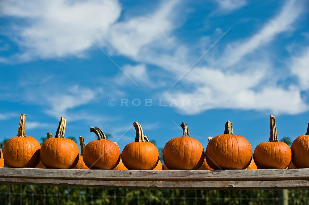 Orange pumpkins lined up on wooden boards