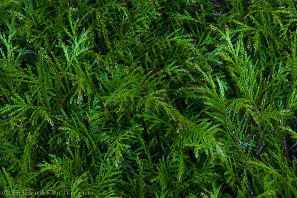 Western Red Cedar (Thuja plicata) branches