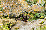 Adult Arctic Fox (Alopex lagopus) and pup playing at den on St. Paul Island in Southwest Alaska. Summer. Evening.
