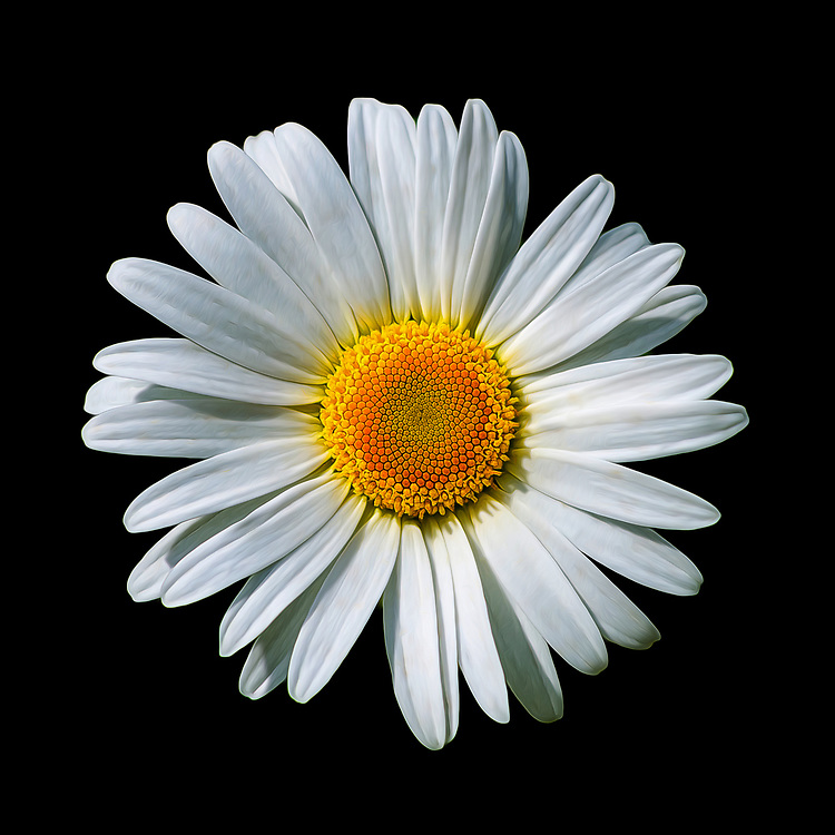 A closeup detailed macro shot of a white Oxeye Daisy on a black background.