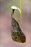 Pitcher of the pitcher plant Nepenthes rafflesiana in Tanjung Puting National Park, Kalimantan, Borneo, Indonesia.