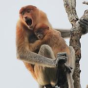 Proboscis monkey (Nasalis larvatus) mother gives warning call while holding baby.  Sekonyer river, Tanjung Puting National Park. Borneo