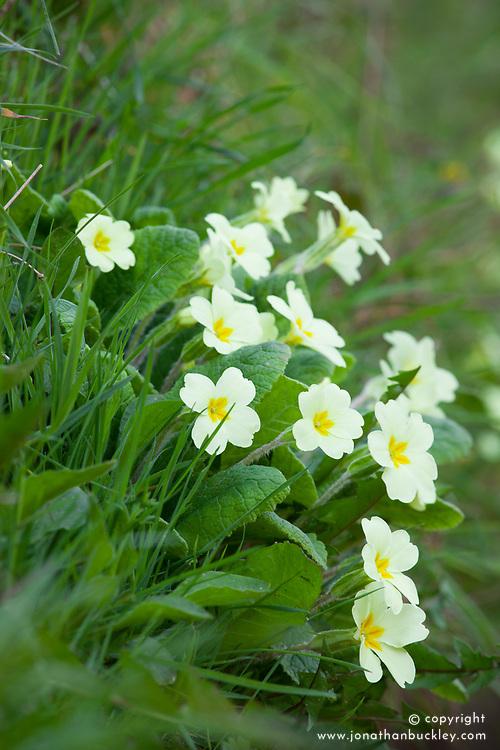 Wild primrose. Primula vulgaris