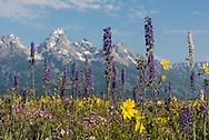 Wildflowers in abundance in the fields beneath the Tetons