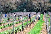 View over the vineyard with vineyard workers pruning. Vines in the foreground have already been pruned. Bodega Vinos Finos H Stagnari Winery, La Puebla, La Paz, Canelones, Montevideo, Uruguay, South America