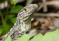 Black Iguana (Spiny-tailed Iguana), Ctenosaura similis, in Manuel Antonio National Park, Costa Rica