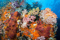 Soft Corals, sponges, and Damsels create a riot of color<br /> <br /> Shot in Indonesia