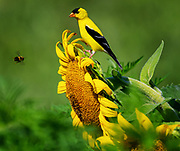 Male American Goldfinch and bee, McKee-Beshers WMA, Poolesville, MD.