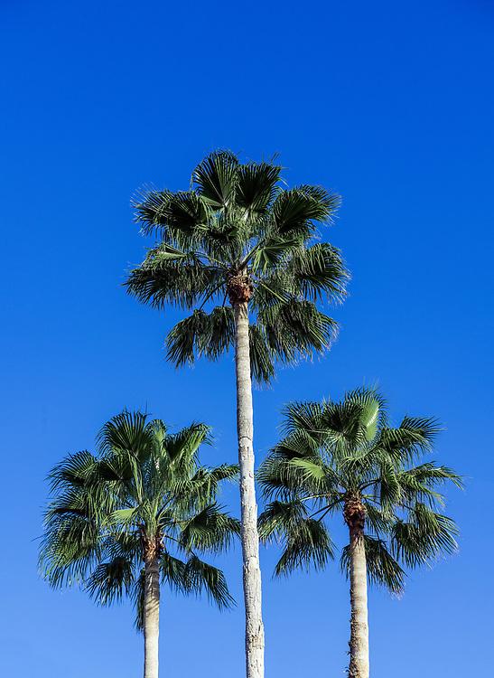 Palm trees, Florida, USA., Florida, USA.