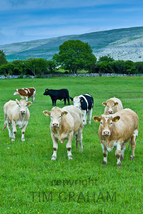 Cattle with The Burren karst landscape behind, County Clare, West of Ireland