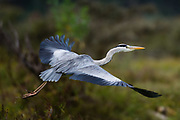 A grey heron, Ardea cinerea, in flight.