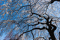 Weeping Higan Cherry at The Great Lawn in Central Park.