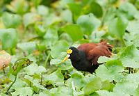 Northern Jacana, Jacana spinosa, walks in aquatic plants on the Tortuguero River (Rio Tortuguero) in Tortuguero National Park, Costa Rica