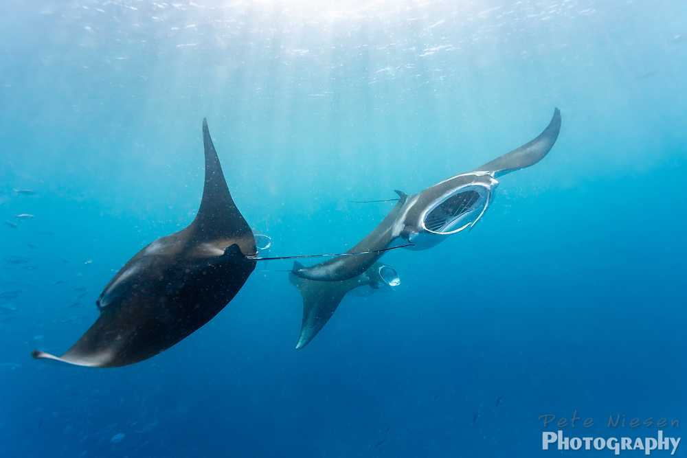 4 Manta rays, Mobula alfredi, circle in feeding pattern near the surface of clear blue waters