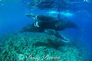 humpback whale mother and calf, Megaptera novaeangliae, swim over shallow coral reef near Nomuka Island, Ha'apai group, Kingdom of Tonga, South Pacific