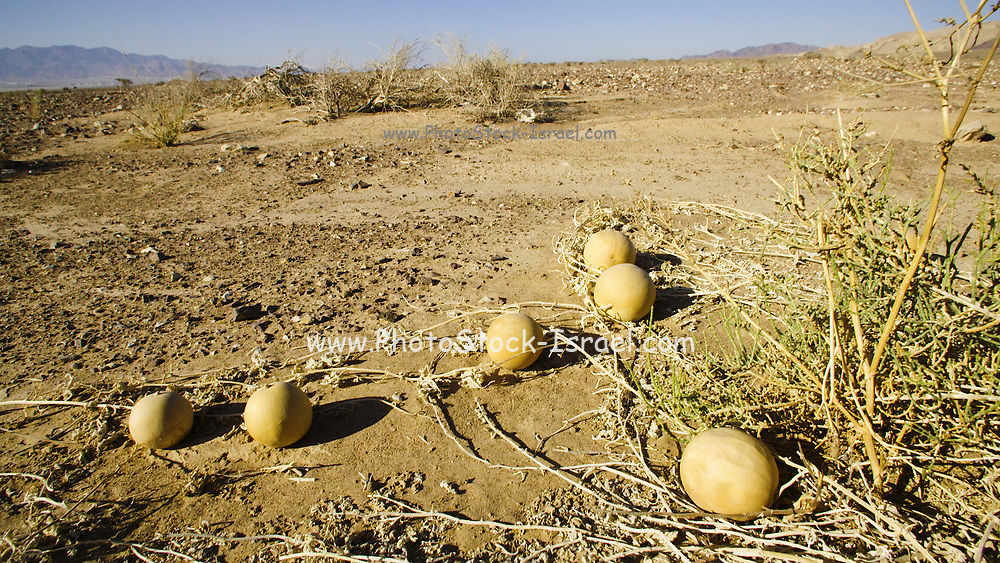 Citrullus colocynthis, with many common names including colocynth, bitter apple, bitter cucumber, desert gourd, egusi, vine of Sodom, desert watermelon or wild gourd, is a desert viny plant native to the Mediterranean Basin and Asia. It resembles a common watermelon vine, but bears small, hard fruits with a bitter pulp. It originally bore the scientific name Colocynthis citrullus. Photographed in The Negev desert, Israel