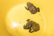Common toads (Bufo bufo) retrieved from road on spring migration. Sussex, UK.