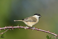 Marsh Tit Poecile palustris L 12-13cm. Pugnacious woodland bird. Similar to Willow Tit but separable using subtle differences in plumage and voice. Sexes are similar. Adult and juvenile have black cap and bib; compared to Willow, cap is glossy, not dull, and bib is relatively small. Cheeks are whitish, upperparts are grey brown and underparts are pale grey-buff. Bill is short and legs are bluish. Voice Utters a loud pitchoo call. Song is loud and repeated chip-chip-chip… Status Locally common resident of deciduous woodland and mature gardens; commonest in S.
