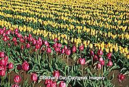 67221-003.14 Purple & Yellow Tulips in field  Skagit Valley  WA