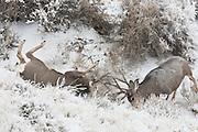 Mule deer (Odocoileus hemionus) bucks fighting during fall rut in Wyoming