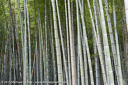 Bamboo forest, Kyoto, Japan. December 10, 2015.  Photography ©2015 Michael Lichter.