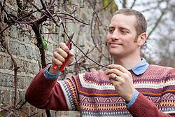 Pruning back side shoots on Vitis vinifera - grapevine - with secateurs