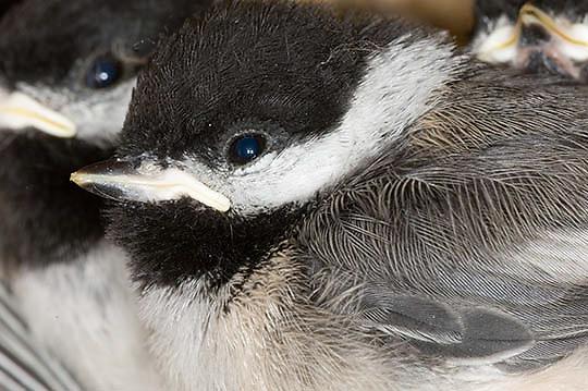 Black-capped Chickadee (Parua atricapillus or Poecile atricapillus). Young.