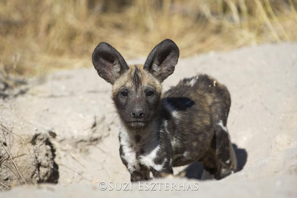 African Wild Dog <br /> Lycaon pictus <br /> 6-8 week old pup(s)<br /> Okavango Delta, Botswana