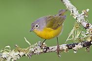 Nashville Warbler - Vermivora ruficapilla - female