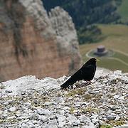 Un esemplare di Gracco alpino (Pyrrhocorax Graculus) fotografato sulle Dolomiti...An exemplar of Yellow-billed Chough (Pyrrhocorax Graculus) photographed on the Dolomites.