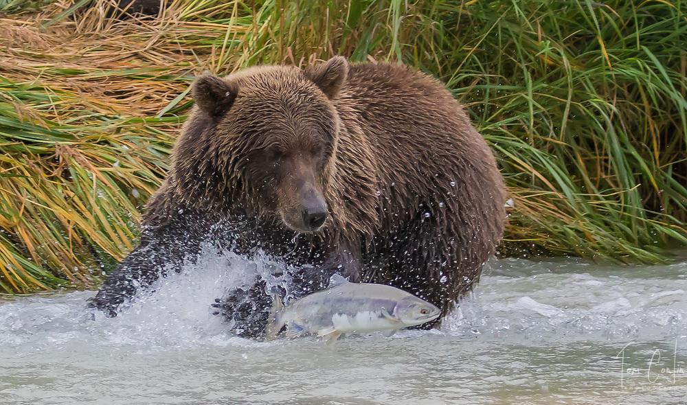 brown bear ~ Ursus arctos ~ adult feeding  on salmon ~ Katmai National Park ~ Alaska ~ www.adventurequestX.com