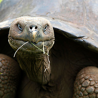 South America, Ecuador, Galapagos islands. Galapagos Tortoise of Santa Cruz island.