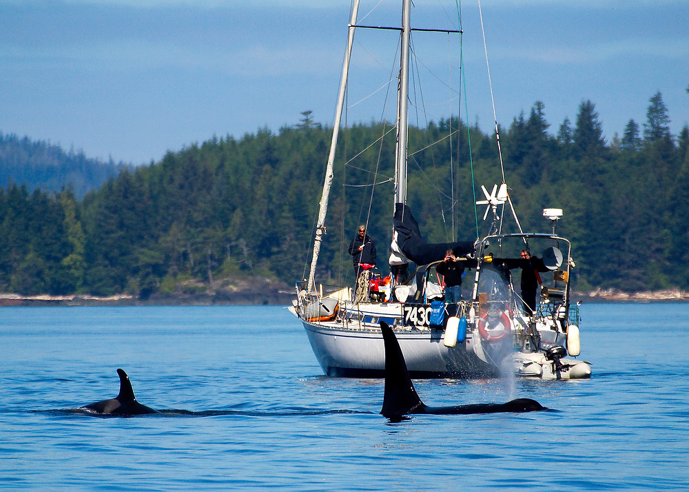Alaska. SE. Inside Passage. A pod of Orca whales (Grampus orcinus) passing by a recreational vehicle.