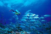 diver and bigeye trevally, <br /> Caranx sexfaciatus, <br /> Flinders Reef, Coral Sea, <br /> Australia   MR 205