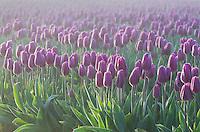 Skagit Valley Tulip Fields