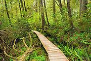 Boardwalk in temperate rain forest<br /> Pacific Rim National Park<br /> British Columbia<br /> Canada