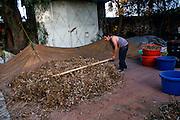 Para extraer la semilla de frijol, un campesino golpea con un palo las matas recién recolectadas. Tlaltenco, Tláhuac. 29 de diciembre de 2009. (Foto: Prometeo Lucero)