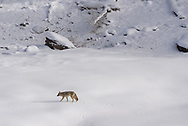 A coyote walks across a snowfield in Yellowstone