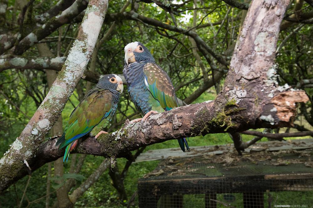A pair of wild but tame White-crowned parrots (Pionus senilis)