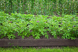 Bed of Potato 'Mayan Gold' with wooden edging