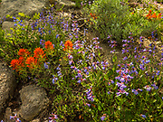Indian Paintbrush (Casilleja miniata) and Sagebrush Penstemon (Penstemon speciosus) along the Mores Mountain Nature Trail at Shafer Butte.
