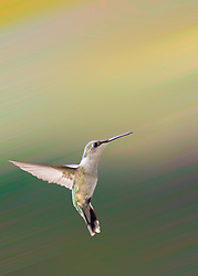 Ruby-Throated Hummingbird - One can never consent to creep when one feels an impulse to soar